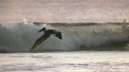 Flying With Ease, Brown Pelican