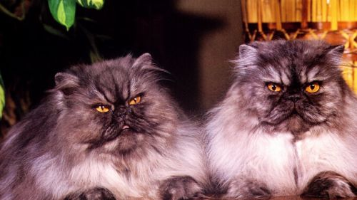 Persian Cats Wall TR